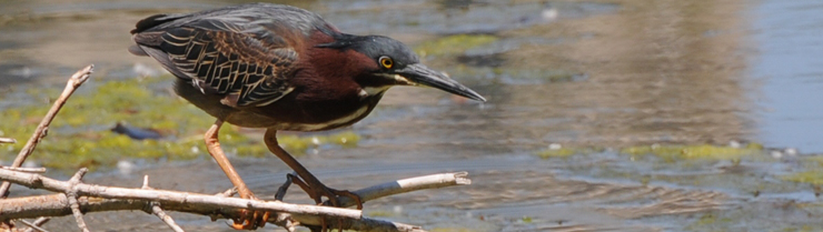 A green heron at the Nature Boardwalk at Lincoln Park Zoo, a WRD Environmental project.