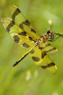 Reintroducing wildife to urban settings, like this dragonfly at Victory Centre South Chicago, a WRD Environmental project