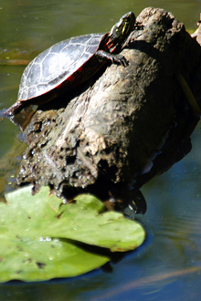 A sunning turtle is just one example of the abundant wildlife at North Park Village.