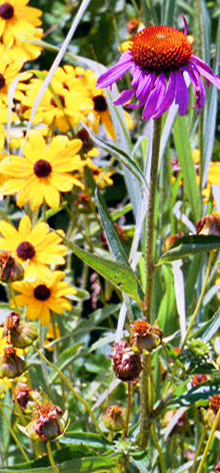 Purple coneflower and black-eyed susan, Midwestern native species that are among the staples of WRD designs